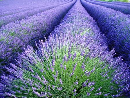 Lavendelwiese